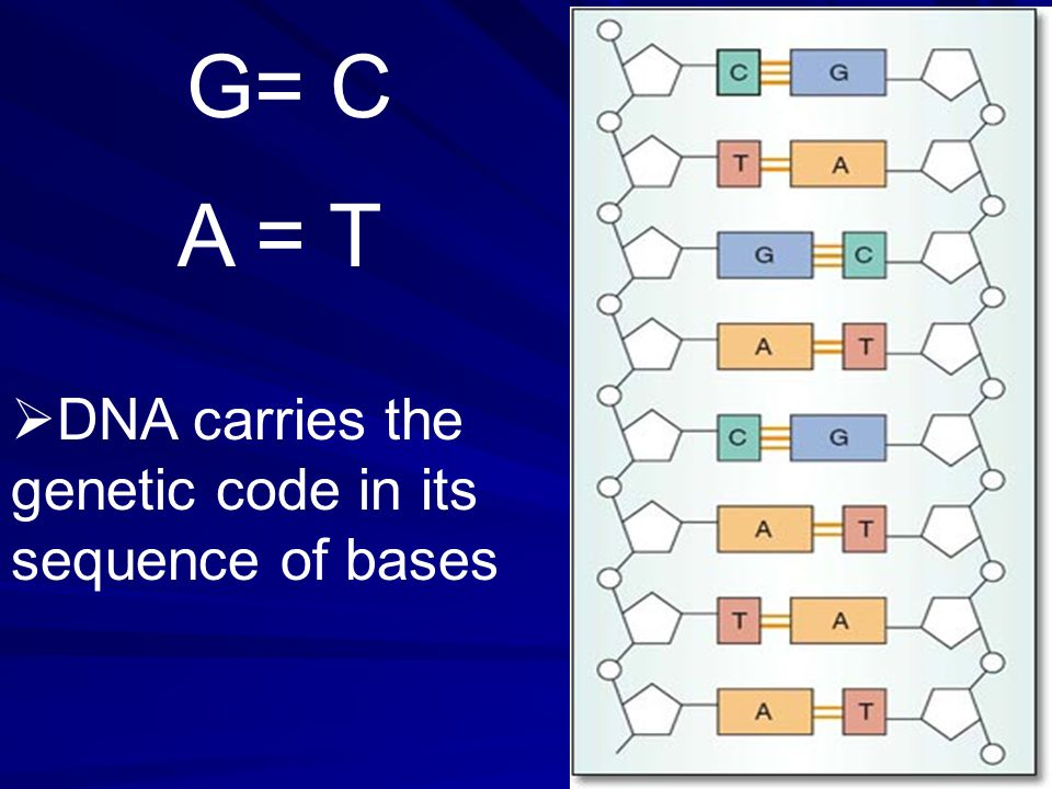 A = T G= C  DNA carries the genetic code in its sequence of bases