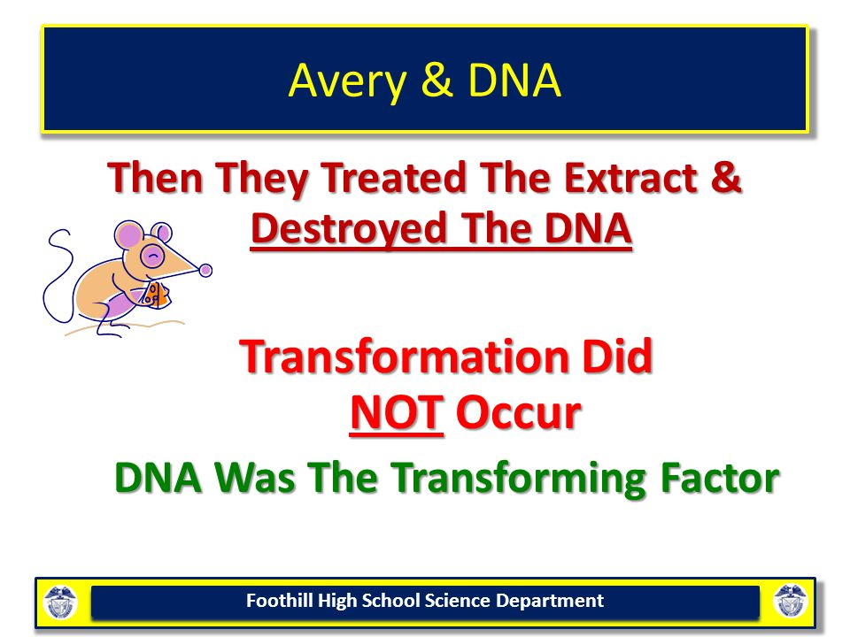 Foothill High School Science Department Avery & DNA Then They Treated The Extract & Destroyed The DNA Transformation Did NOT Occur DNA Was The Transforming Factor