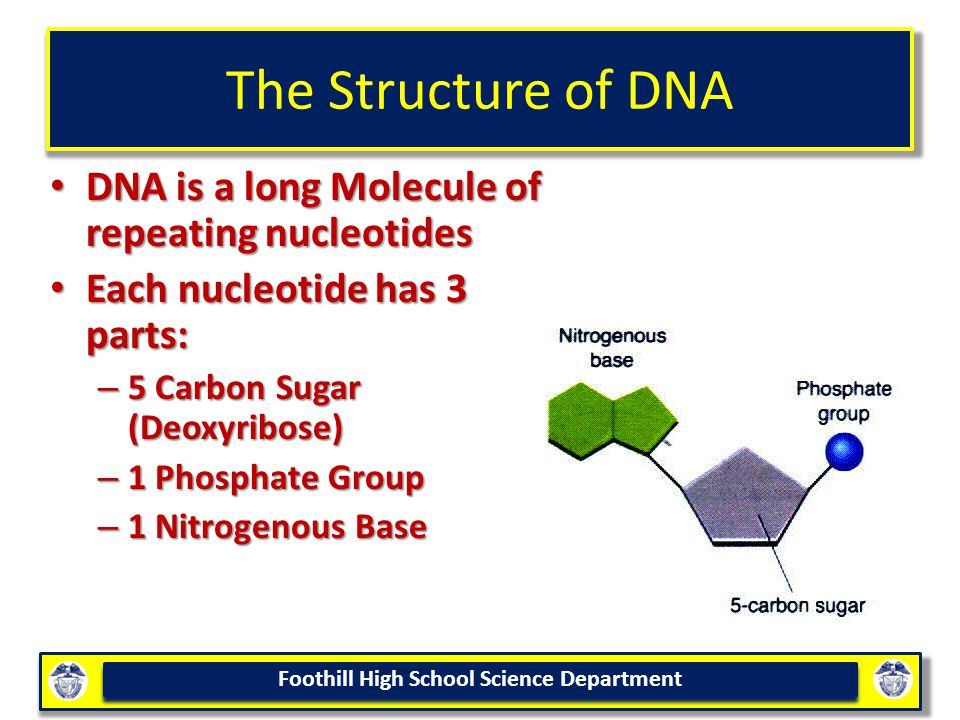 Foothill High School Science Department The Structure of DNA DNA is a long Molecule of repeating nucleotides DNA is a long Molecule of repeating nucleotides Each nucleotide has 3 parts: Each nucleotide has 3 parts: – 5 Carbon Sugar (Deoxyribose) – 1 Phosphate Group – 1 Nitrogenous Base