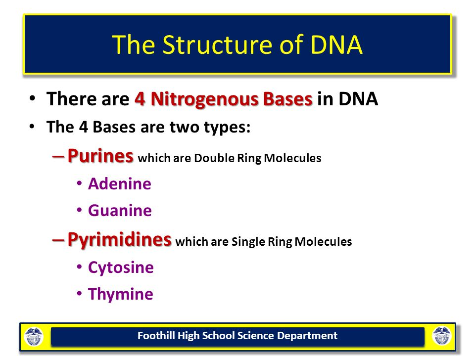 Foothill High School Science Department The Structure of DNA 4 Nitrogenous Bases There are 4 Nitrogenous Bases in DNA The 4 Bases are two types: – Purines – Purines which are Double Ring Molecules Adenine Guanine – Pyrimidines – Pyrimidines which are Single Ring Molecules Cytosine Thymine
