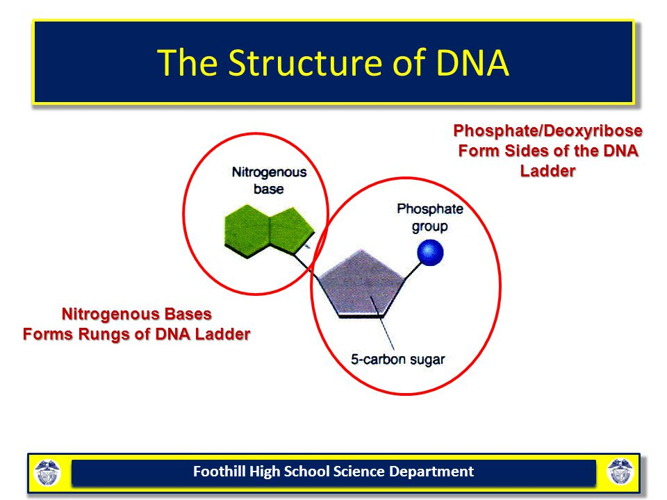 Foothill High School Science Department The Structure of DNA Nitrogenous Bases Forms Rungs of DNA Ladder Phosphate/Deoxyribose Form Sides of the DNA Ladder