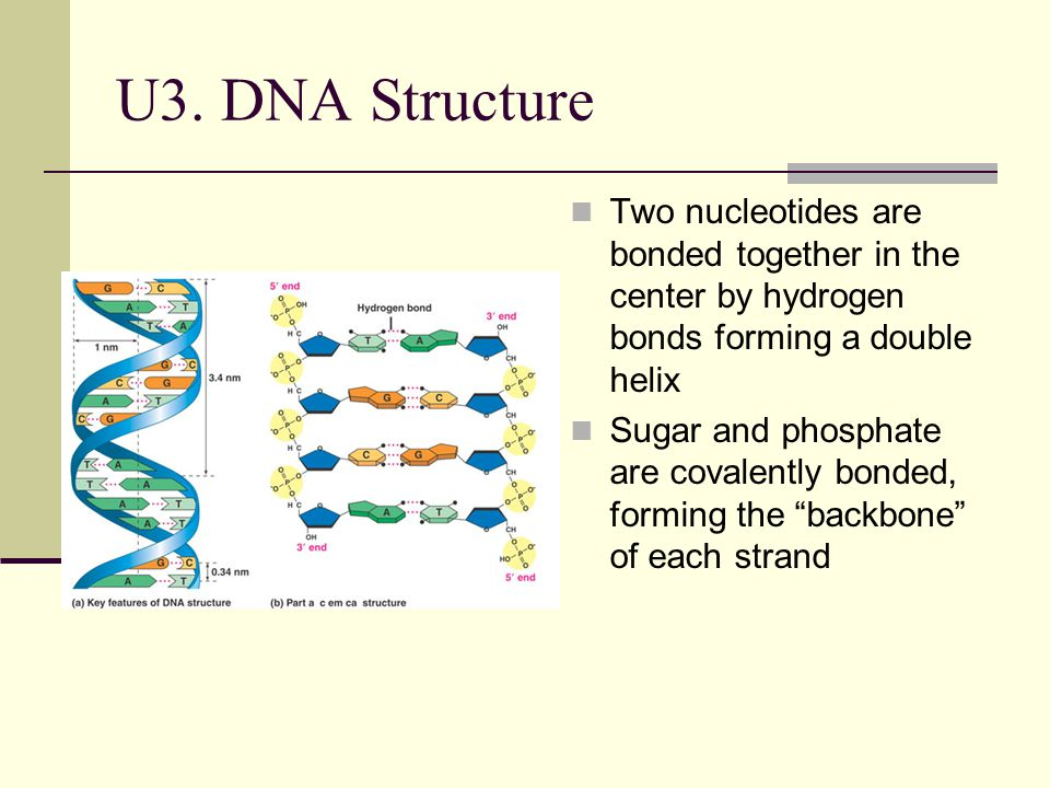 U3. DNA Structure Two nucleotides are bonded together in the center by hydrogen bonds forming a double helix Sugar and phosphate are covalently bonded