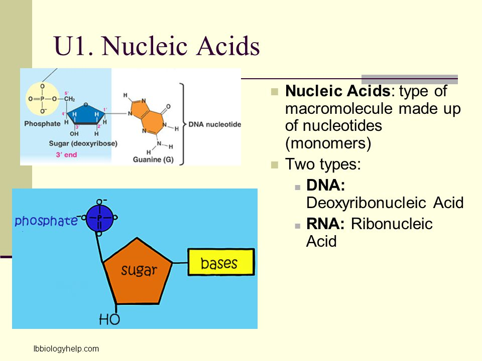 U1. Nucleic Acids Nucleic Acids: type of macromolecule made up of nucleotides (monomers) Two types: DNA: Deoxyribonucleic Acid RNA: Ribonucleic Acid I