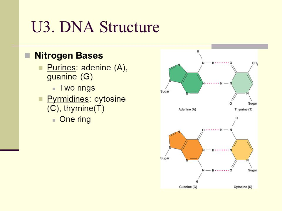 U3. DNA Structure Nitrogen Bases Purines: adenine (A), guanine (G) Two rings Pyrmidines: cytosine (C), thymine(T) One ring