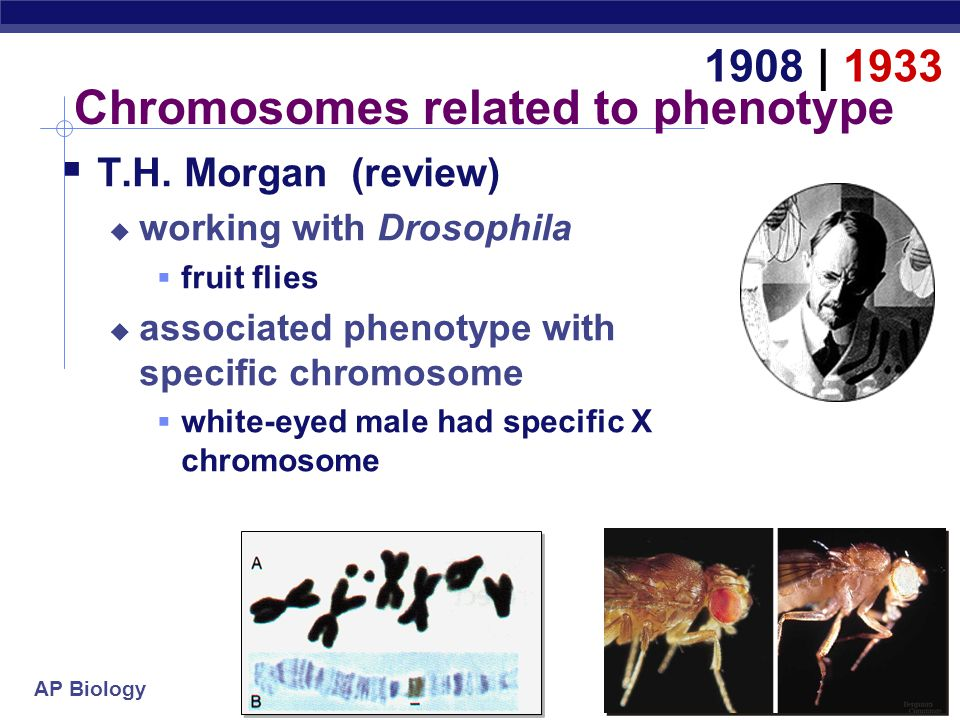AP Biology Chromosomes related to phenotype  T.H.