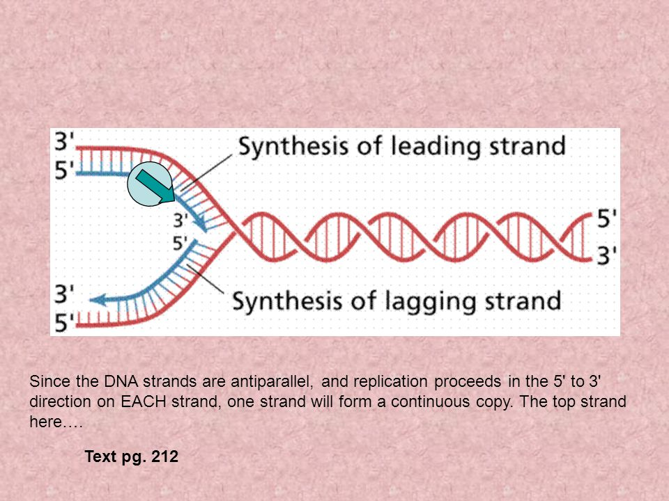 Since the DNA strands are antiparallel, and replication proceeds in the 5' to 3' direction on EACH strand, one strand will form a continuous copy. The