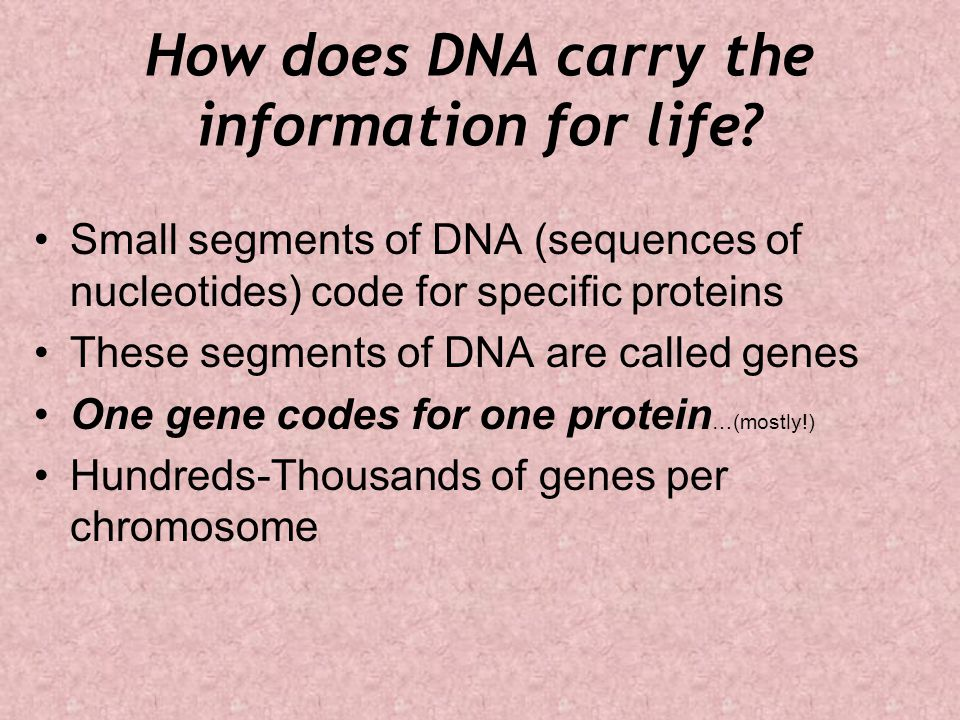 How does DNA carry the information for life? Small segments of DNA (sequences of nucleotides) code for specific proteins These segments of DNA are cal