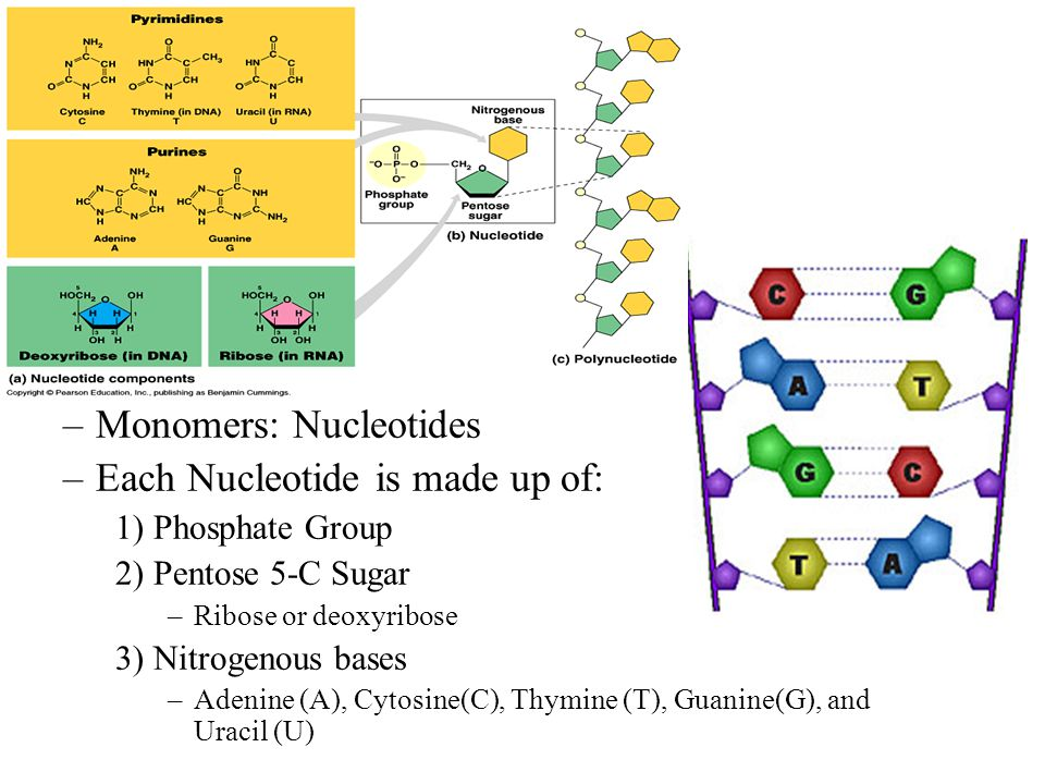 Nucleic Acids –Informational Polymers: Code for all of the proteins in an organism –Monomers: Nucleotides –Each Nucleotide is made up of: 1) Phosphate