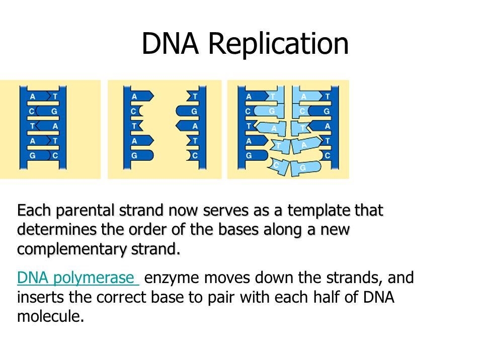 DNA Replication Each parental strand now serves as a template that determines the order of the bases along a new complementary strand. DNA polymerase