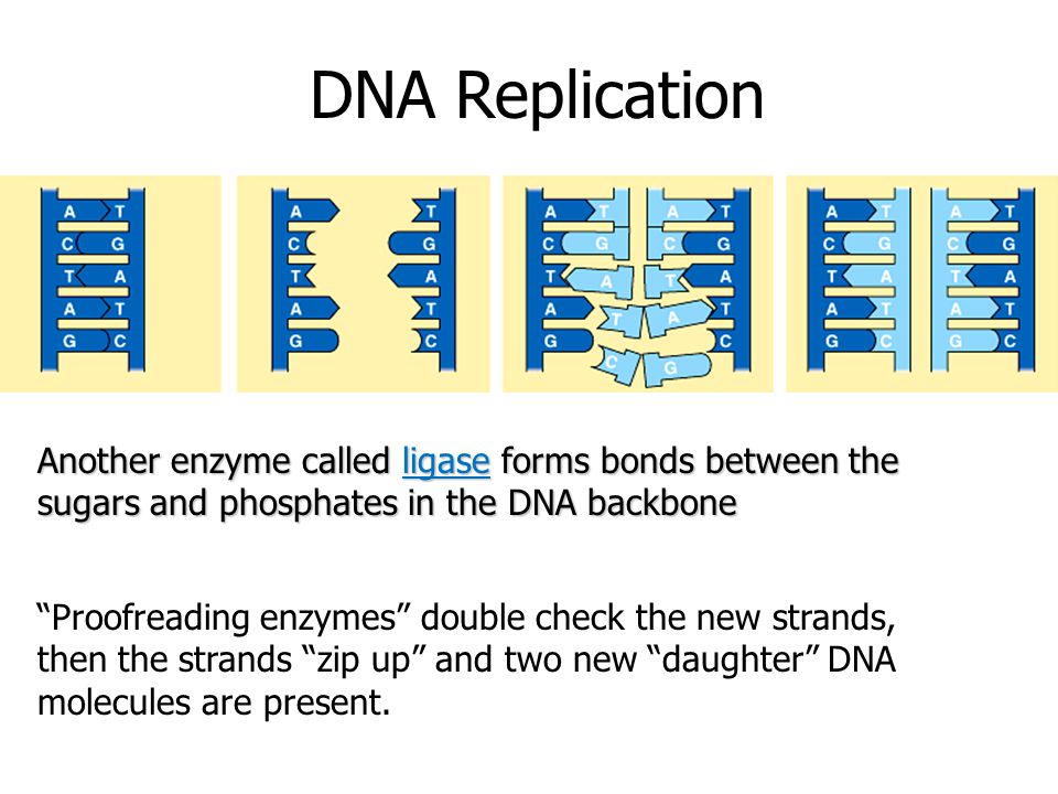 "DNA Replication Another enzyme called ligase forms bonds between the sugars and phosphates in the DNA backbone ""Proofreading enzymes"" double check the"