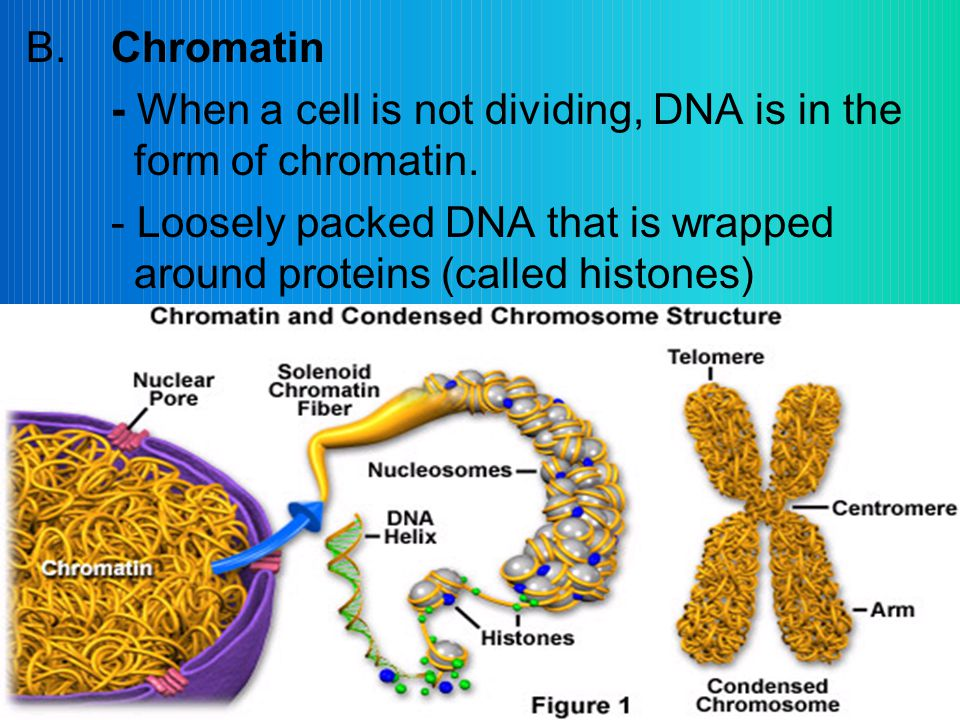 B.Chromatin - When a cell is not dividing, DNA is in the form of chromatin.