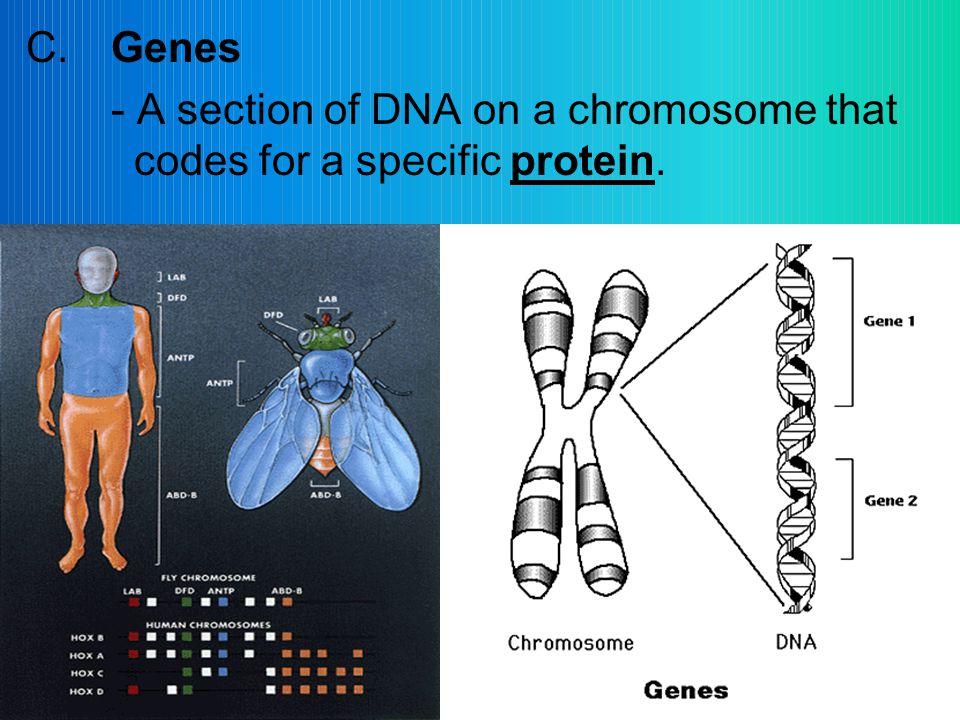 C.Genes - A section of DNA on a chromosome that codes for a specific protein.