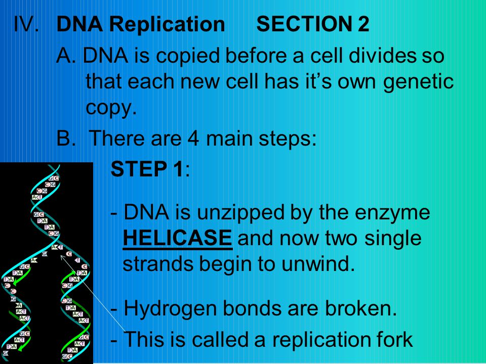 IV.DNA ReplicationSECTION 2 A.