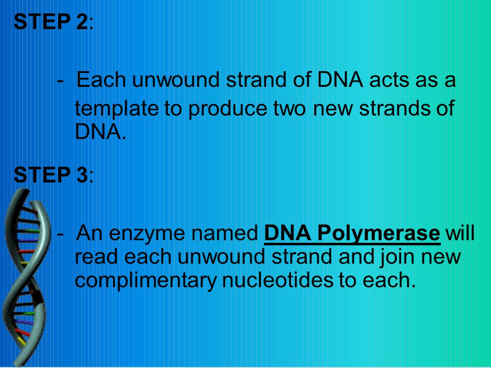 STEP 2: - Each unwound strand of DNA acts as a template to produce two new strands of DNA.
