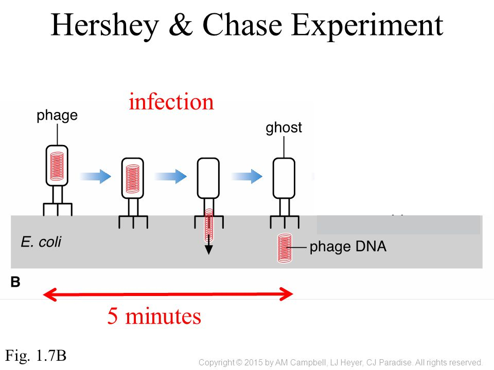 Fig. 1.7B Hershey & Chase Experiment infection 5 minutes Copyright © 2015 by AM Campbell, LJ Heyer, CJ Paradise. All rights reserved.