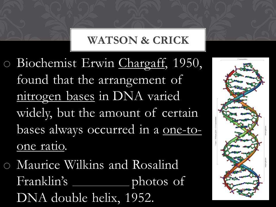 o Biochemist Erwin Chargaff, 1950, found that the arrangement of nitrogen bases in DNA varied widely, but the amount of certain bases always occurred in a one-to- one ratio.