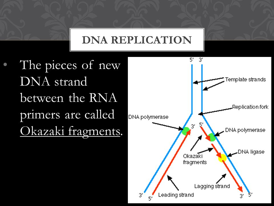 The pieces of new DNA strand between the RNA primers are called Okazaki fragments. DNA REPLICATION