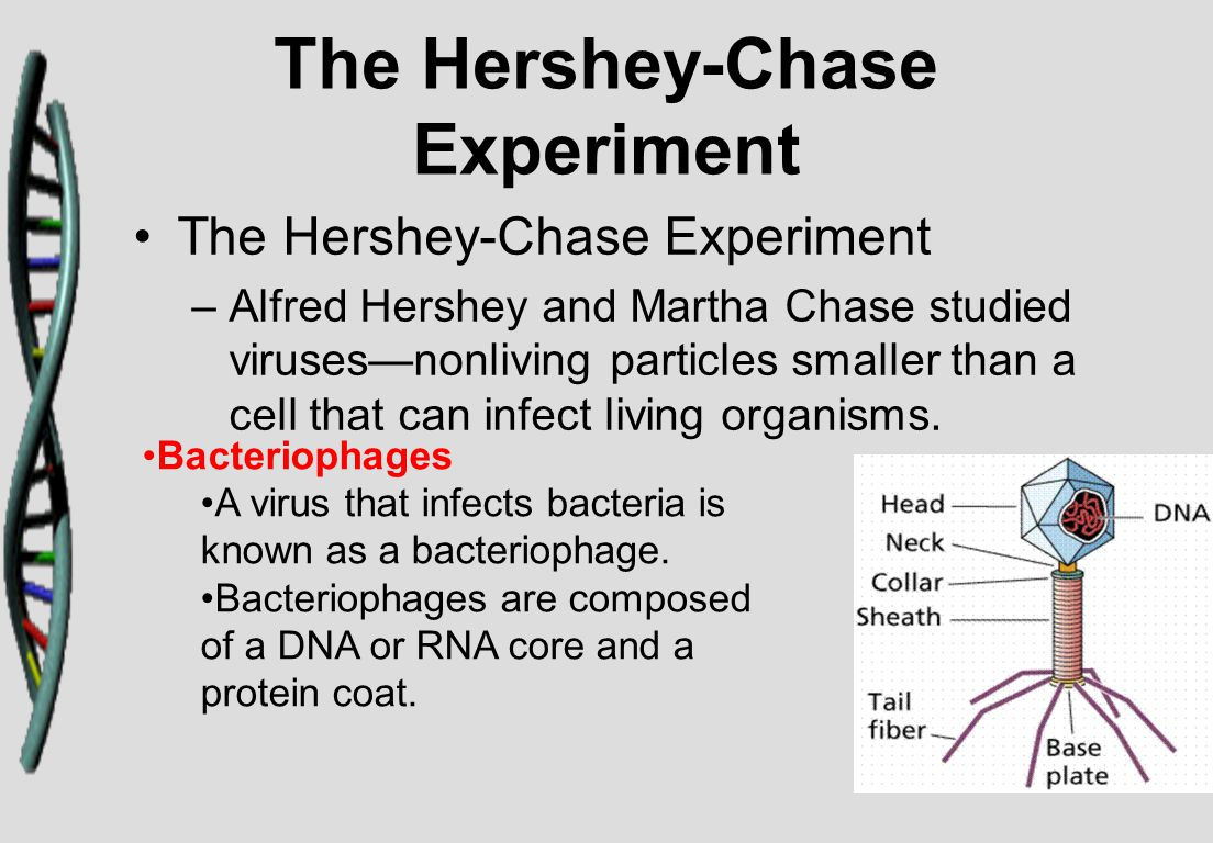 The Hershey-Chase Experiment If Hershey and Chase could determine which part of the virus entered an infected cell, they would learn whether genes were made of protein or DNA.