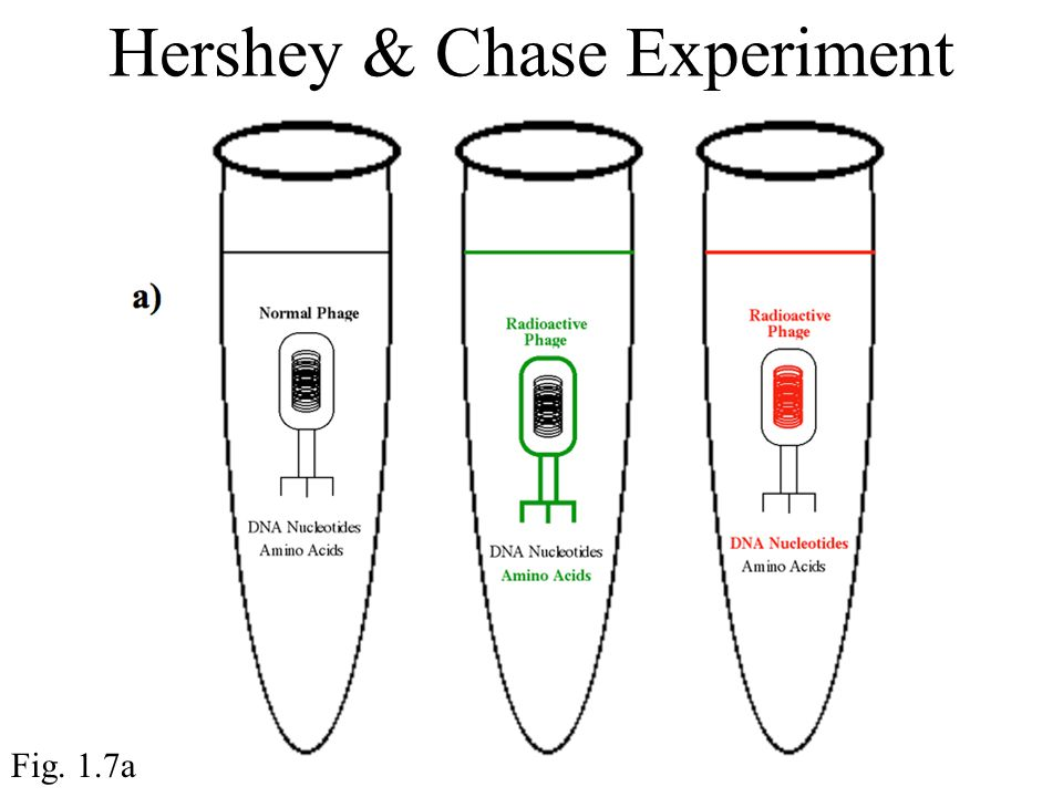 Hershey & Chase Experiment Fig. 1.7a