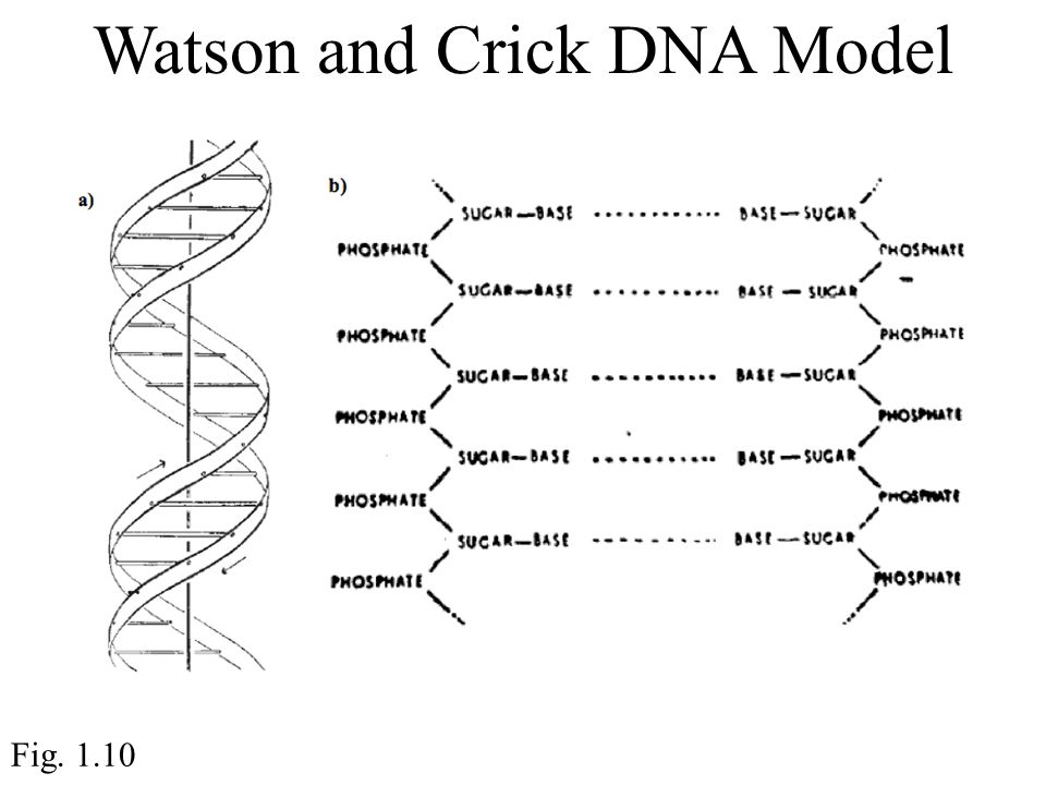 Watson and Crick DNA Model Fig. 1.10