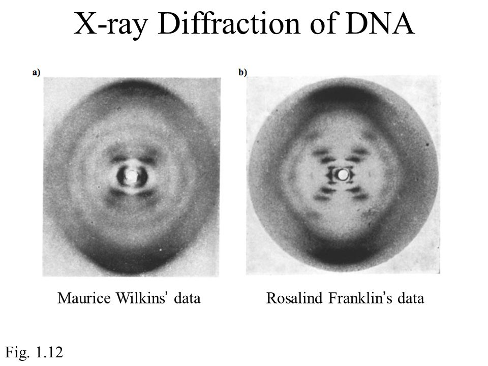 Maurice Wilkins' dataRosalind Franklin's data X-ray Diffraction of DNA Fig. 1.12