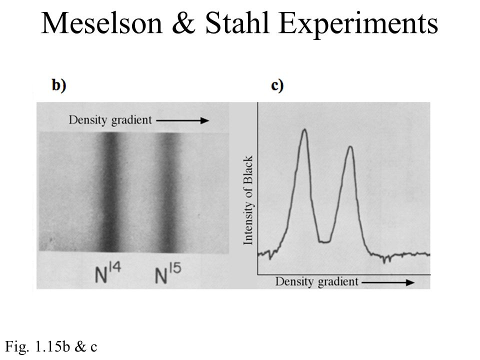 Meselson & Stahl Experiments Fig. 1.15b & c