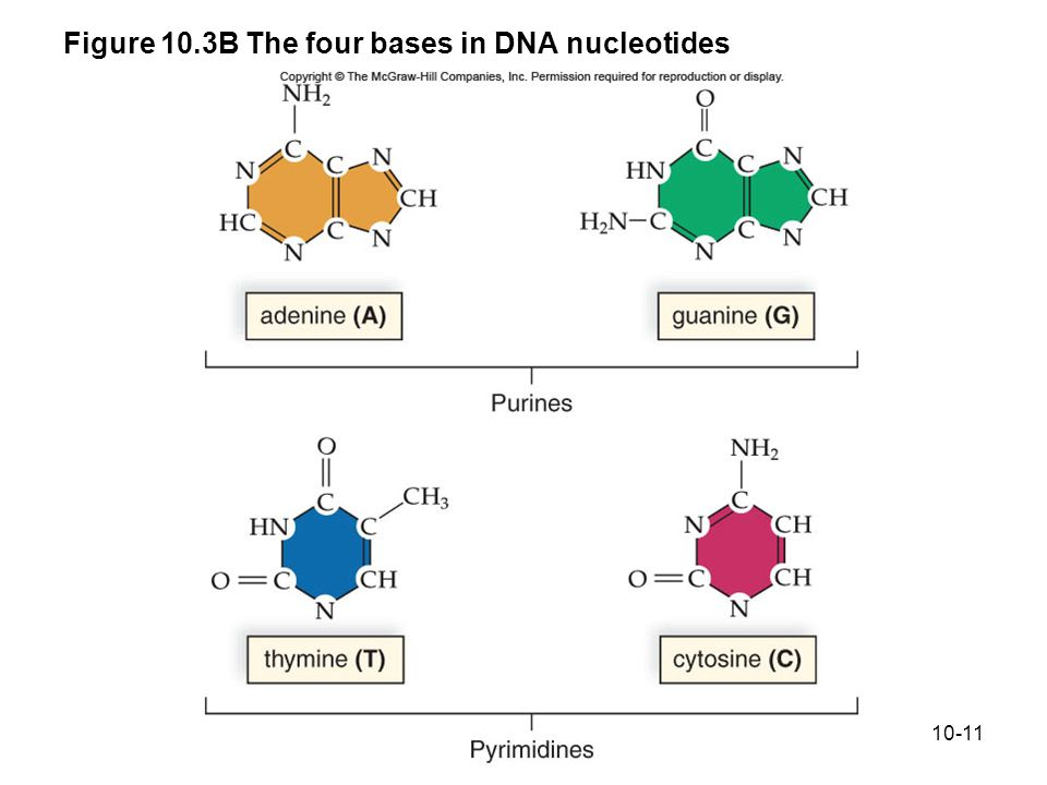 10-11 Figure 10.3B The four bases in DNA nucleotides