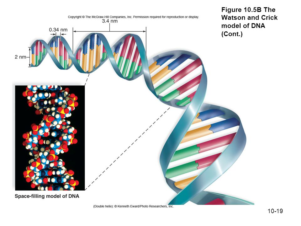 10-19 Figure 10.5B The Watson and Crick model of DNA (Cont.)