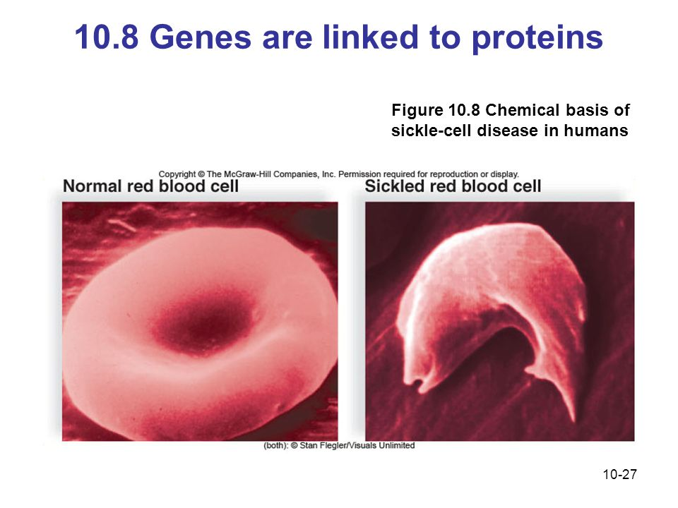 10-27 10.8 Genes are linked to proteins Figure 10.8 Chemical basis of sickle-cell disease in humans