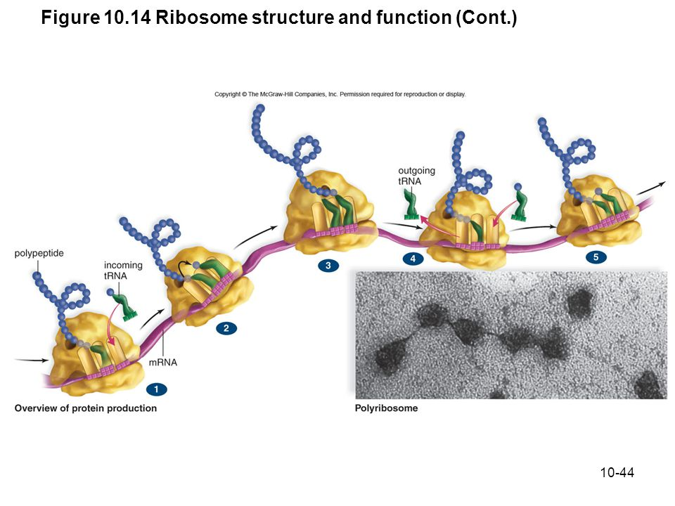 10-44 Figure 10.14 Ribosome structure and function (Cont.)