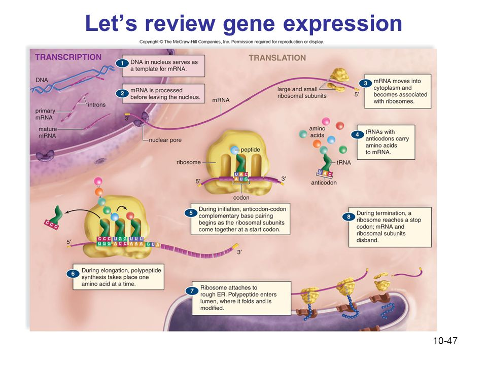 10-47 Let's review gene expression