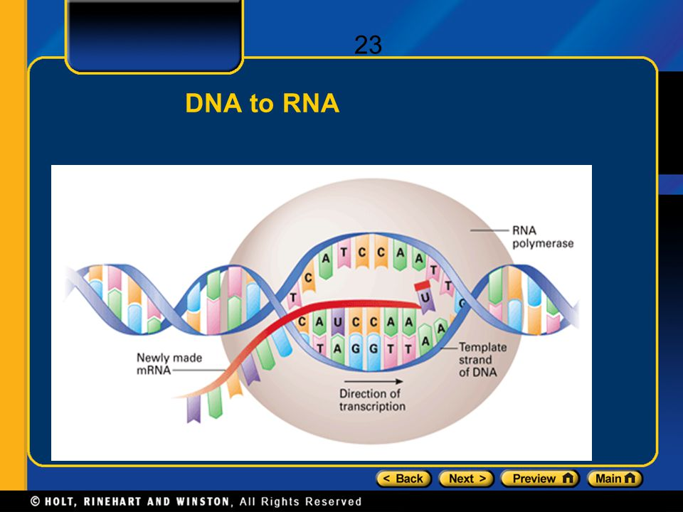 DNA to RNA 23