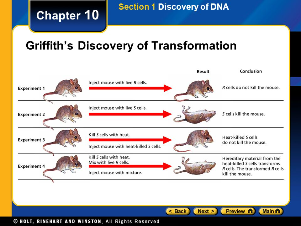 Chapter 10 Griffith's Discovery of Transformation Section 1 Discovery of DNA