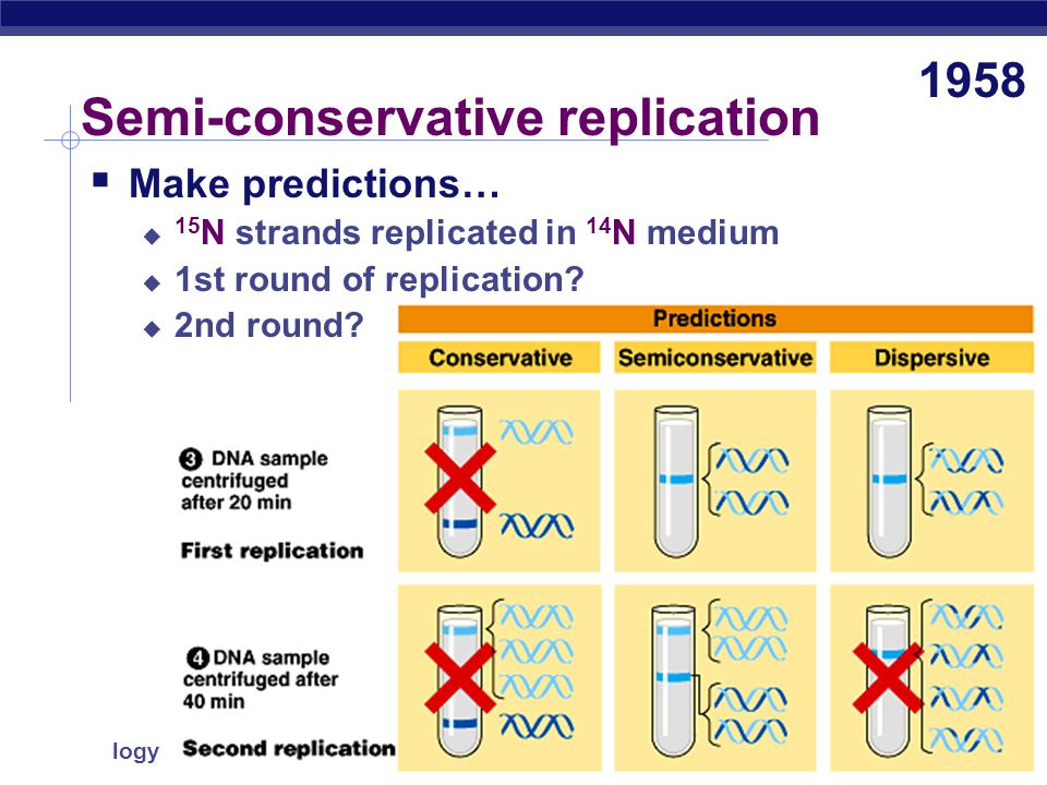 AP Biology Semi-conservative replication  Meselson & Stahl  label nucleotides of parent DNA strands with heavy nitrogen = 15 N  label new nucleotides with lighter isotope = 14 N The Most Beautiful Experiment in Biology 1958 make predictions … parentreplication