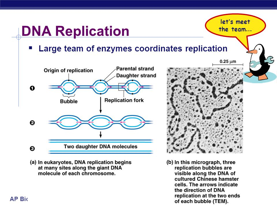 AP Biology Semi-conservative replication  Make predictions…  15 N strands replicated in 14 N medium  1st round of replication.
