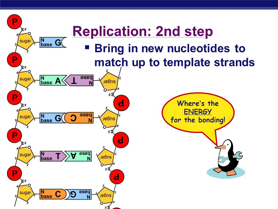 AP Biology Replication: 1st step  Unwind DNA  helicase enzyme  unwinds part of DNA helix  stabilized by single-stranded binding proteins single-stranded binding proteins