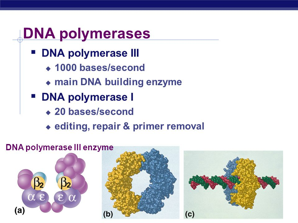 AP Biology Replication enzymes  helicase  DNA polymerase III  primase  DNA polymerase I  ligase  single-stranded binding proteins