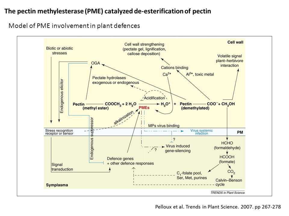 Model of PME involvement in plant defences