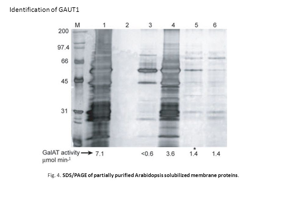 Fig. 4. SDS/PAGE of partially purified Arabidopsis solubilized membrane proteins.