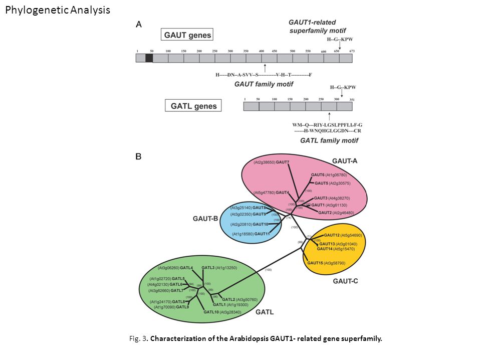 Phylogenetic Analysis Fig. 3. Characterization of the Arabidopsis GAUT1- related gene superfamily.