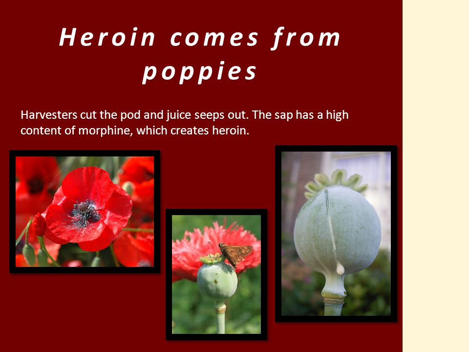 Heroin comes from poppies Harvesters cut the pod and juice seeps out. The sap has a high content of morphine, which creates heroin.