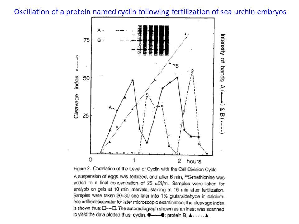 Oscillation of a protein named cyclin following fertilization of sea urchin embryos