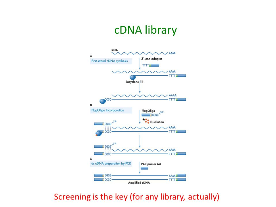 cDNA library Screening is the key (for any library, actually)