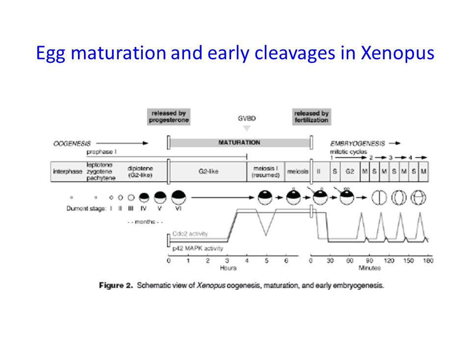 Egg maturation and early cleavages in Xenopus
