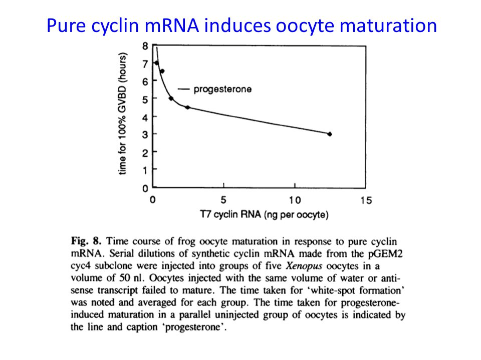 Pure cyclin mRNA induces oocyte maturation