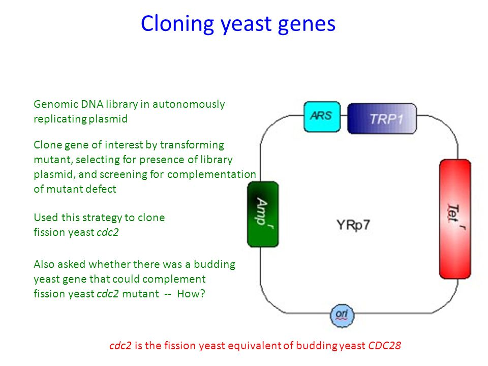 Cloning yeast genes Genomic DNA library in autonomously replicating plasmid Clone gene of interest by transforming mutant, selecting for presence of library plasmid, and screening for complementation of mutant defect Used this strategy to clone fission yeast cdc2 Also asked whether there was a budding yeast gene that could complement fission yeast cdc2 mutant -- How.
