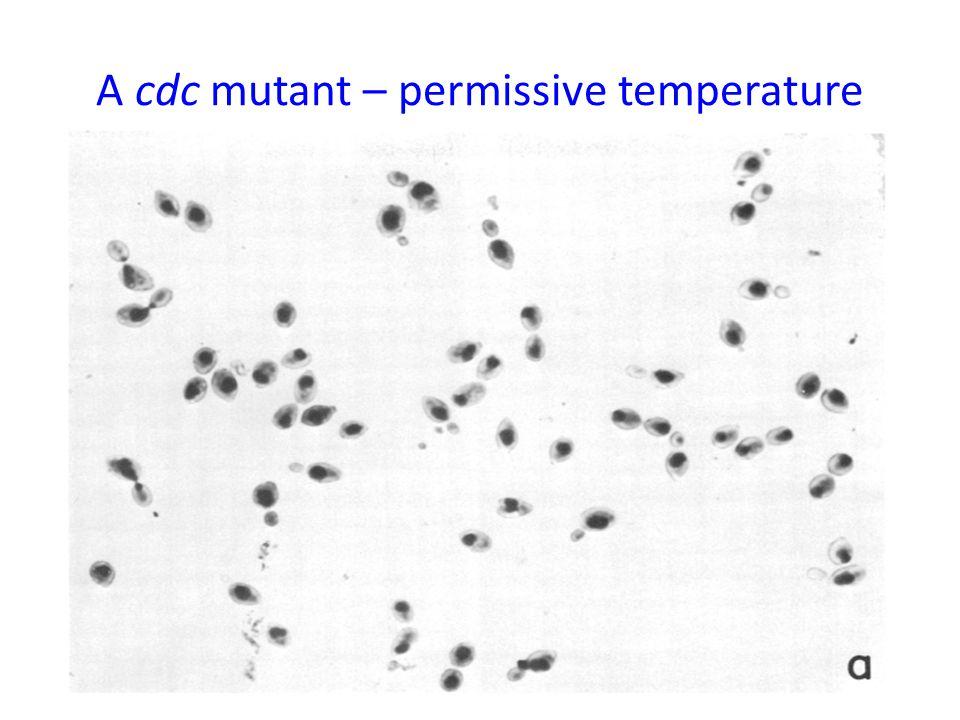 A cdc mutant – permissive temperature