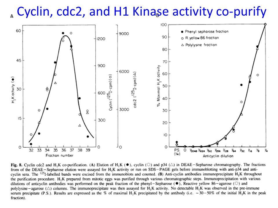 Cyclin, cdc2, and H1 Kinase activity co-purify