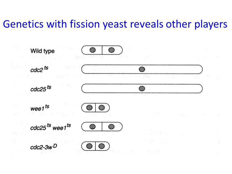 Genetics with fission yeast reveals other players
