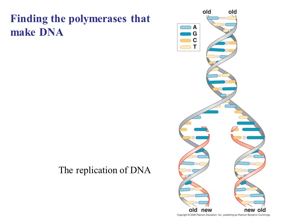 Finding the polymerases that make DNA The replication of DNA